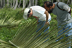 ARS entomologist (left) and Farzan Hosein of the Trinidad Ministry of Agriculture, Marine, and Land Resources observe red palm mite populations and plant symptoms caused by the mites: Click here for full photo caption.