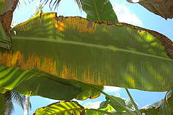 The discolored areas on the underside of this banana leaf are where red palm mites have caused damage to the plant: Click here for photo caption.