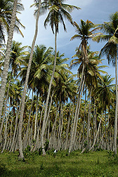 Coconut palm trees: Click here for photo caption.