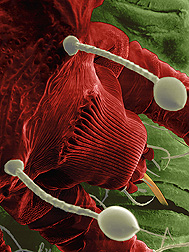 This low-temperature scanning electron micrograph shows that the red palm mite uses its stylets to feed deeper into leaf tissue than most plant-feeding mites do: Click here for full photo caption.