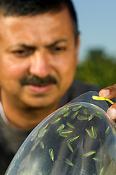 Chemist observes lacewings in a trap containing the pheromone he identified as iridodial: Click here for full photo caption.