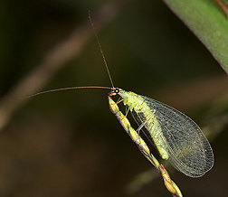 Goldeneyed lacewing, Chrysopa oculata, 1 to 1.5 centimeters long: Click here for photo caption.