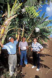 In Hawaii, Aloun Farms owner (left) and field manager (center) point out fruit flies hiding in a banana tree to ARS entomologist: Click here for full photo caption.