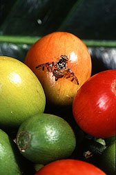 Mediterranean fruit fly, a worldwide agricultural pest: Click here for photo caption.