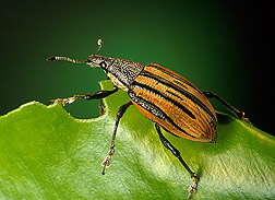 Adult Diaprepes root weevil: Click here for photo caption.