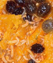 Fruit fly larvae in papaya: Click here for photo caption.