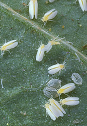 Silverleaf whiteflies, Bemisia argentifolii, on a leaf: Click here for photo caption.