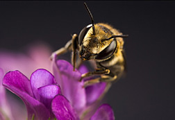 An alfalfa leafcutting bee on an alfalfa flower: Click here for photo caption.