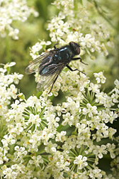 A blue bottle fly pollinating florets: Click here for photo caption.
