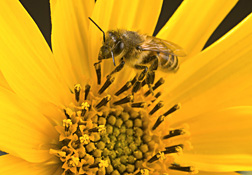 An adult worker honey bee collecting pollen: Click here for photo caption.