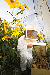 "Entomologist checking honey bees in a ""nucleus"" hive: Click here for full photo caption."