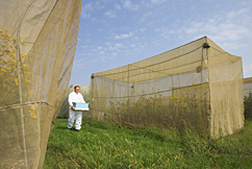 Entomologist moves a nucleus honey bee hive to a cage containing sunflowers: Click here for full photo caption.