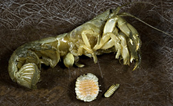 Griffen's isopod (Orthione griffenis, here removed from the underside of a shrimp's carapace): Click here for full photo caption.