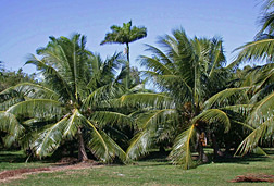 "Two Fiji Dwarf (also called ""Niu Leka"") coconut trees (foreground) at the Subtropical Horticulture Research Station in Miami, Florida: Click here for full photo caption."