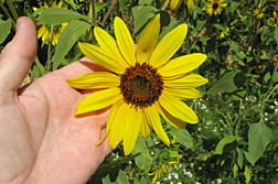Photo: Wild Australian sunflower. Link to photo information