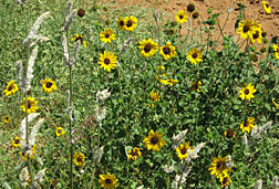 "Helianthus debilis, commonly referred to as the ""dune sunflower,"" growing in a sandy roadside area near Booarga, Queensland: Click here for full photo caption."