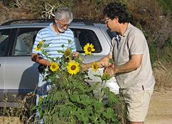 ARS botanist (left) and a plant pathologist inspect the first wild sunflower found on their trip to western Australia on the outskirts of Esperance: Click here for full photo caption.