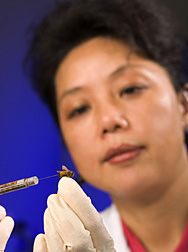 Entomologist injects a healthy bee with viruses extracted from bees in colonies showing colony collapse disorder: Click here for full photo caption.
