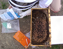 Entomologist collects bee samples from colonies affected by colony collapse disorder: Click here for full photo caption.