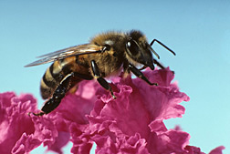 A honey bee: Click here for full photo caption.