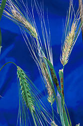 Fusarium head blight (shown above in the lighter, discolored barley heads): Click here for full photo caption.