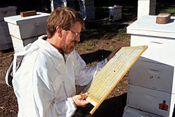 Entomologist Jeff Pettis examines a screen used to monitor Varroa mites: Click here for full photo caption.