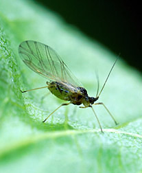 Photo: Green peach aphid. Link to photo information