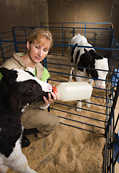 Photo: Scientist bottle feeding calf. Link to photo information