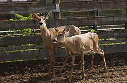 Two of about 60 deer maintained at the Agricultural Research Service's National Animal Disease Center in Ames, Iowa: Click here for full photo caption.