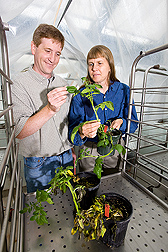 Looking for signs of resistance, geneticists examine resistant (being held) and susceptible potato plants that have been inoculated with Phytophthora infestans, the causal agent of late blight: Click here for full photo caption.