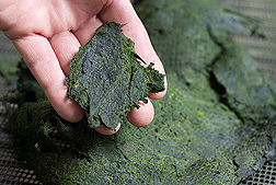 Photo: Air-dried algae. Link to photo information
