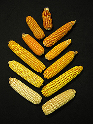Maize varies widely in carotenoid content, which affects the grains' color. The white kernels here have almost no carotenoids, while the orange ones are almost as high in them as carrots: Click here for full photo caption.