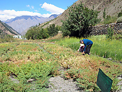 Entomologist from ICRISAT and a colleague in a chickpea research plot at the Regional Research Station, Kukumseri, in the Himalayan foothills of northern India: Click here for full photo caption.