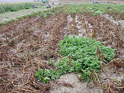 Green plants of the late blight-resistant potato variety Defender, surrounded by susceptible varieties killed by late blight in a test plot at Bonners Ferry, Idaho: Click here for photo caption.