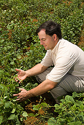 Geneticist examines the effects of high-temperature stress on pod development in the common bean: Click here for full photo caption.