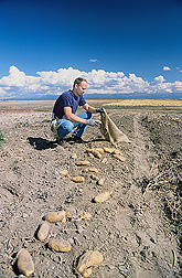 Geneticist harvests tubers of a potato breeding clone at Tetonia, Idaho: Click here for full photo caption.