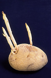 Sprouting during storage diminishes a potato's processing and nutritional qualities and means less profit for the producer: Click here for photo caption.
