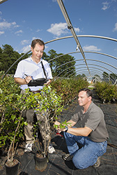 Plant geneticist (left) and plant pathologist examine blueberry plants and collect data on mummy berry fruit infection to evaluate resistance: Click here for full photo caption.