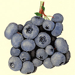 This botanical illustration documents Stanley, a mid- to late-season blueberry with dessert-quality berries: Click here for full photo caption.