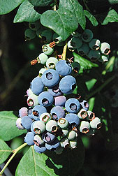 Photo: A cluster of blueberries ripening on a bush. Link to photo information