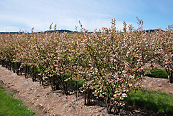Elliott blueberry plants in full bloom: Click here for full photo caption.
