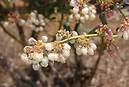 Close-up of blueberry flowers: Click here for photo caption.