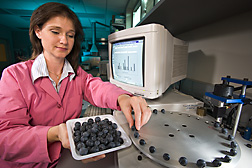 Horticulturist Donna Marshall measures blueberry firmness to determine the correlation between fruit firmness and susceptibility to fruit splitting: Click here for full photo caption.