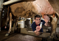 In a milking parlor at Ames, Iowa, molecular biologist John Lippolis collects milk samples for tests to see whether vitamin D reduces the severity of mastitis: Click here for photo caption.