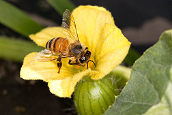 Photo:  Honey bee on a watermelon flower. Link to photo information