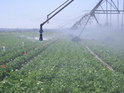 A half-circle spinning spray-plate sprinkler being evaluated on a potato research plot: Click here for photo caption.
