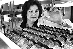 A researcher examines strawberry cultures in a growth chamber in the 1980s: Click here for photo caption.