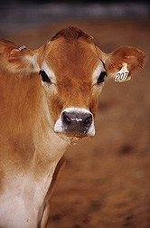 Calf: Click here for full photo caption.
