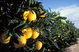 Most of the U.S. citrus grown today was developed from ARS varieties or rootstock and is high yielding and disease resistant: Click here for photo caption.
