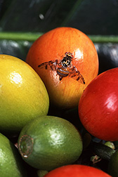 Mediterranean fruit fly: Click here for full photo caption.